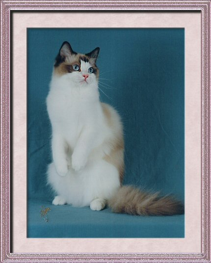 Ragdoll cat - Seal Bicolor Grand Champion