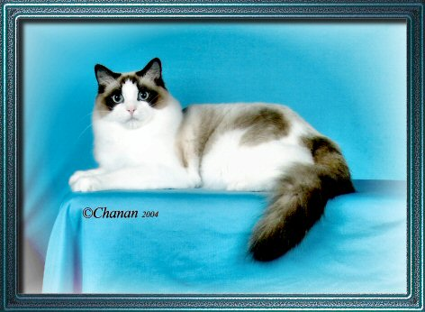 Ragdoll Cat Seal Point Bicolor Frances