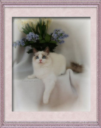 Ragdoll kitten - blue point bicolor 5 mo