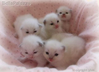 Ragdoll kittens in Connecticut
