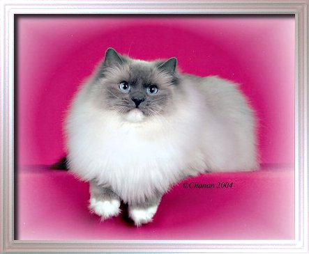 BellaPalazzo Destiny Blue point mitted female Ragdoll Cat