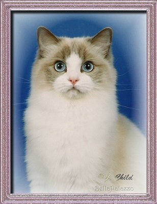 BellaPalazzo Emalie, a blue point bicolor Ragdoll cat
