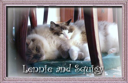 Ragdoll cats, Blue point mitted and Seal Point bicolor