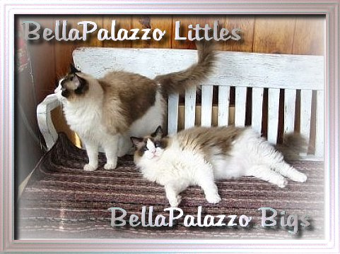 Seal point bicolor Ragdoll cats