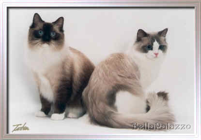Ragdoll Cats and Kittens from BellaPalazzo Ragdolls in